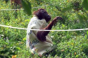 Ο πίθηκος… μόδιστρος