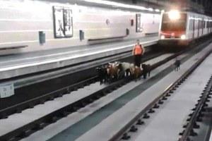 Κατσίκες κόβουν... βόλτα στο μετρό