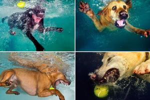 Σκυλιά βουτούν στο νερό για να πιάσουν μία μπάλα