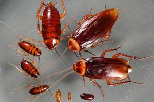 Κατσαρίδες για την αντιμετώπιση των… απορριμμάτων της κουζίνας