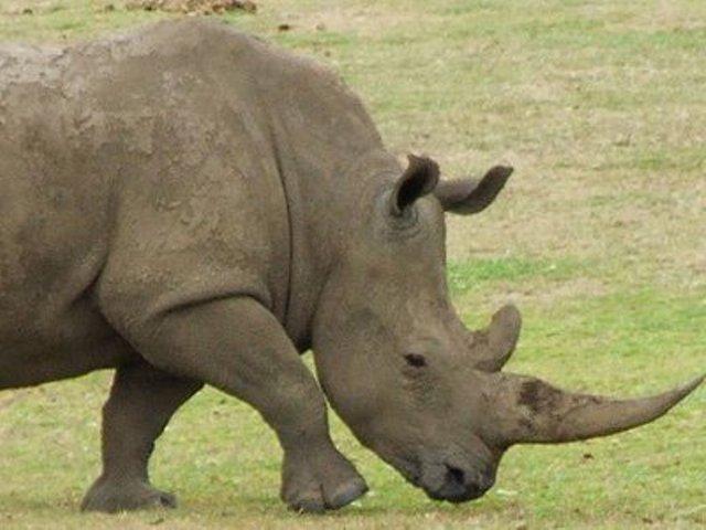 Κέρατο ρινόκερου