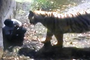 Τίγρης κατασπάραξε νεαρό στο Νέο Δελχί