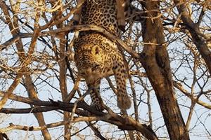 Η πιο... αδέξια λεοπάρδαλη