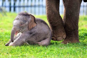 Τα πρώτα βήματα του μικρού ελέφαντα