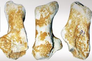 Βρέθηκε απολίθωμα πτέρνας αρκούδας 3 εκατ. ετών