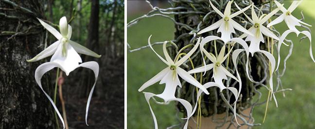 Epipogium aphyllum / Dendrophylax lindenii