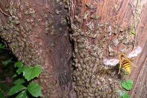 Μέλισσες «ψήνουν» ζωντανή μια γιγαντιαία σφίγγα
