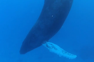 Φάλαινα κοιμάται στο βυθό της θάλασσας