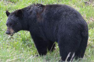 Αρκούδα έφαγε το άψυχο σώμα ενός άντρα