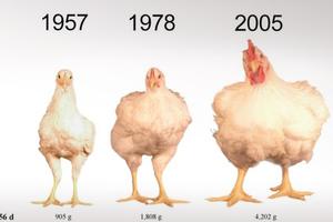 Γιατί οι κότες έχουν αλλάξει… εμφάνιση με τη πάροδο των ετών