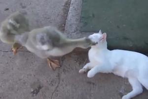 Η γάτα και η πάπια
