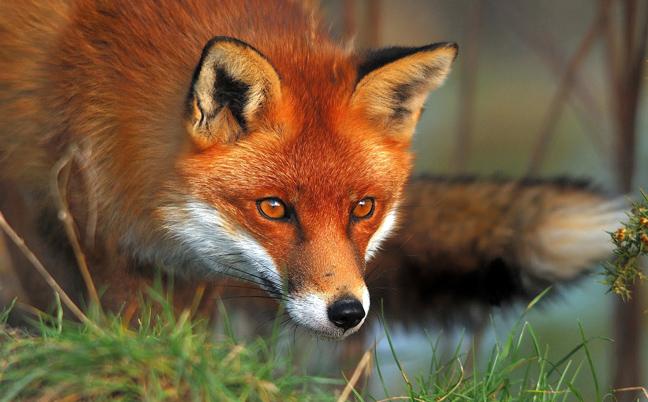 Αποτέλεσμα εικόνας για αλεπου