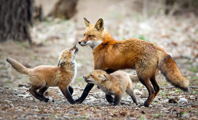 Τι δεν ξέρουμε για την αλεπού