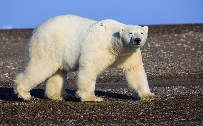 πολικές αρκούδες Αλάσκα