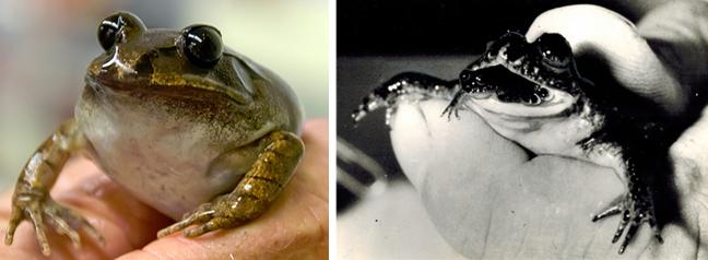 Γαστρικά αναπαραγόμενος βάτραχος