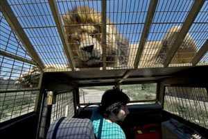 Γαργάλησε κι εσύ ένα λιοντάρι, μπορείς