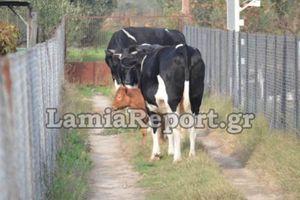 Επιδρομή «αδέσποτων» αγελάδων σε χωράφια με κηπευτικά