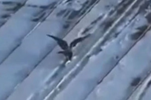 Και τα πουλιά κάνουν snowbeord