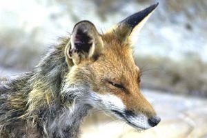 Ξεκινά το πρόγραμμα εμβολιασμού των αλεπούδων