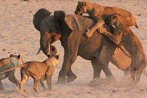 Η γενναία μάχη ενός ελέφαντα με μια αγέλη πεινασμένων λιονταριών