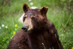 Αυξάνεται ο πληθυσμός των αρκούδων στην Ελλάδα