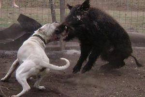 Διοργάνωναν μάχες μεταξύ σκύλων και… αγριογούρουνων!