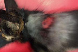 Πυροβόλησαν εξ επαφής σκύλο στη Μεσσηνία