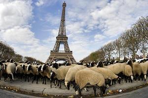 Τα πρόβατα «κατέλαβαν» τον Πύργο του Άιφελ