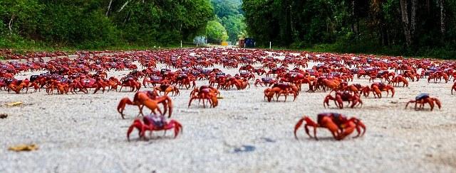 Η επέλαση των κόκκινων καβουριών