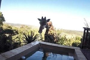 Καμηλοπάρδαλη σβήνει τη δίψα της σε πισίνα
