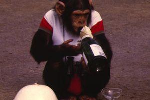 Οι πίθηκοι έπιναν αλκοόλ πριν 10 εκατομμύρια χρόνια