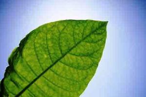 Βιονικό φύλλο παράγει υγρά καύσιμα με τη βοήθεια βακτηρίων