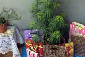 Μητέρα στόλισε δενδρύλλια κάνναβης αντί για χριστουγεννιάτικο δέντρο