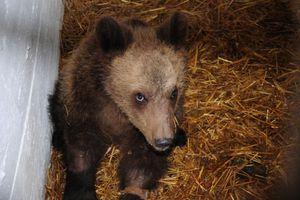 Αρκούδα βρέθηκε νεκρή με τρεις σφαίρες