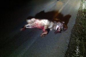 Νεκρός λύκος σε τροχαίο στην Καστοριά