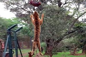 Το απίστευτο άλμα μιας τίγρης για ένα κομμάτι κρέας