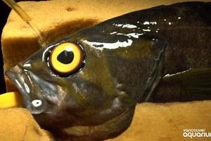 Έβαλαν ψεύτικο μάτι σε ψάρι