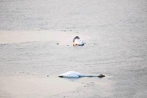 Κύκνος αυτοκτονεί σε λίμνη της Κίνας