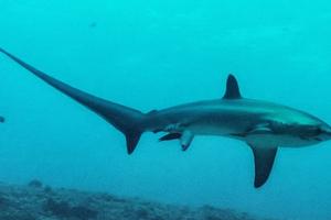 Καρέ από τη στιγμή που γεννά σπάνιος καρχαρίας
