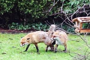 Κάλεσε την αστυνομία γιατί αλεπούδες έκαναν σεξ στον κήπο του
