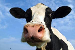 Σαμπουάν από... ούρα αγελάδας!