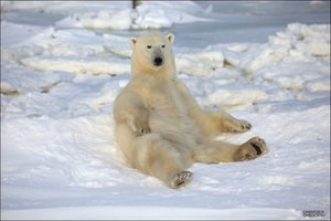 Οι πολικές αρκούδες έχουν φωτογένεια