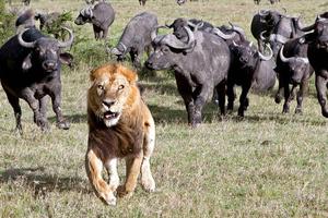 Ένα τρομαγμένο λιοντάρι