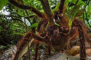 Τρομάζει η μεγαλύτερη σε μέγεθος αράχνη του κόσμου