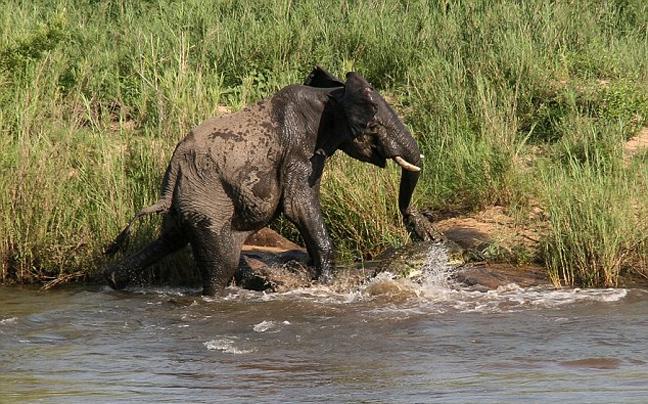 κροκόδειλος ελέφαντας