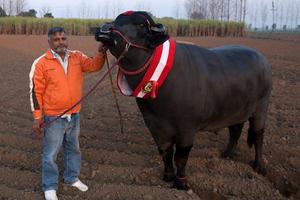 Το σπέρμα του ταύρου που αξίζει πάνω από 4.000 ευρώ