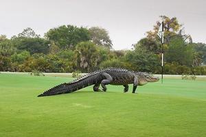 Ο τεράστιος αλιγάτορας που ζει σε γήπεδο του γκολφ