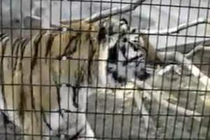 Μην ενοχλείς ποτέ μία τίγρη