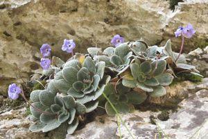 Ένα λουλούδι που φυτρώνει αποκλειστικά στον Όλυμπο