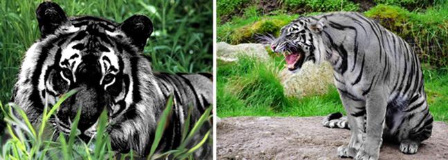 χρώματα Χρυσόψαρο Τίγρης σκίουρος Περιστέρι κοράκι ζώα ζέβρα δελφίνι γορίλας Γάτα αστακός